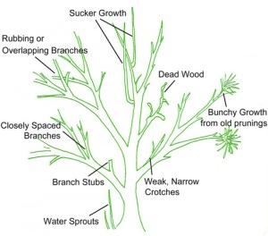 basic-shrub-pruning